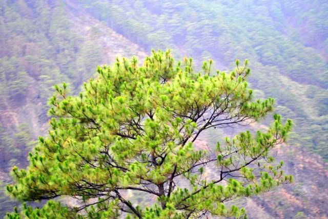 Tree in Sagada